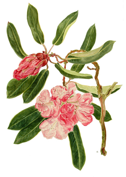 Rhododendron Thomas Messel