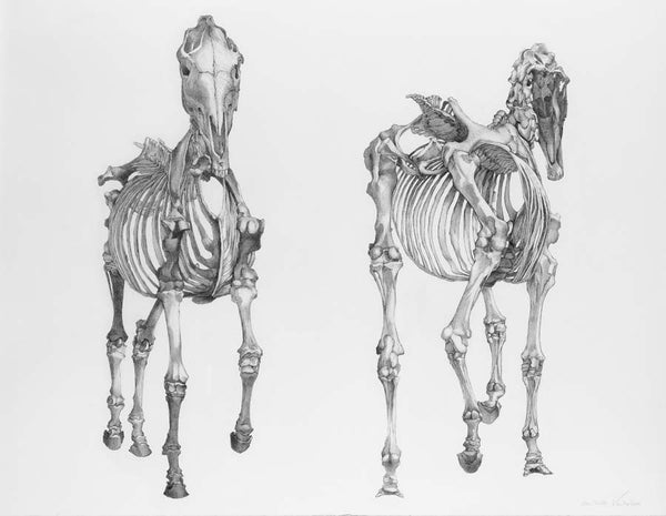 'Two Horse Skeletons' A3 giclee print by artist Xanthe Mosley. £45.  From a range of prints at The Prints Gallery