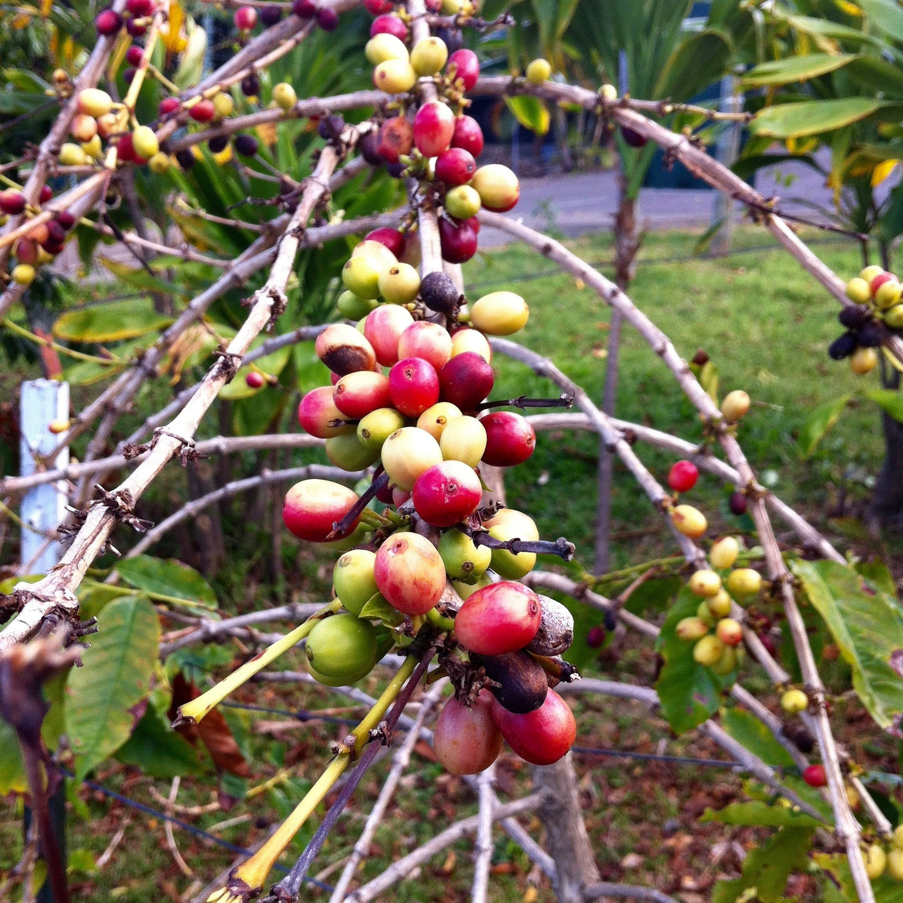 Mountain Thunder Organic Kona Coffee Grows in Donkey Poo