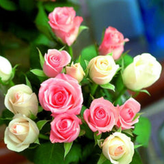Rare Rainbow Rose Flower Seeds