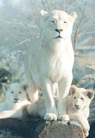 Prophecy of the White Lions