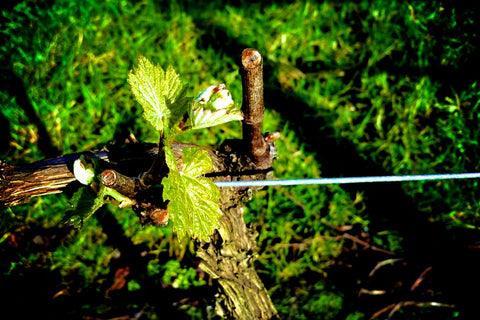 Close up look at one of the vines in the Denmark Vinyard