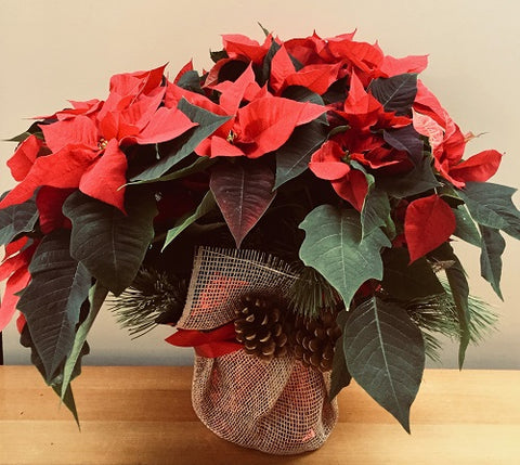 "Large 8"" Poinsettia"