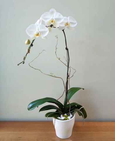 Single Waterfall Orchid Plant