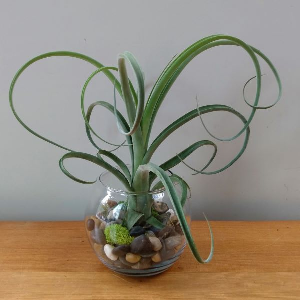 """Curly Slim""Tillandsia"