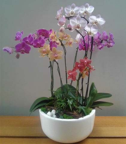 Colourful Phalaenopsis Planter