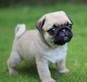 The Top Ten Things You Need to know before Getting a Pug