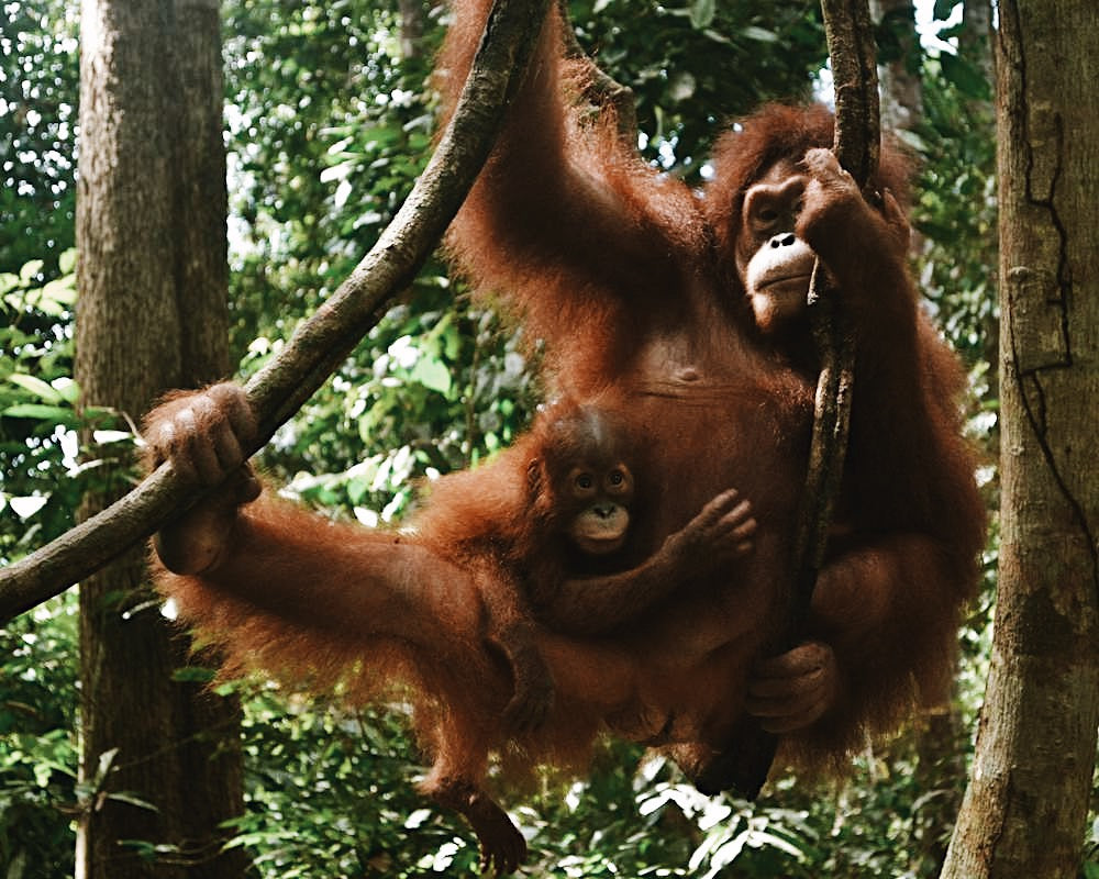 Save the orangutans forest - plant trees