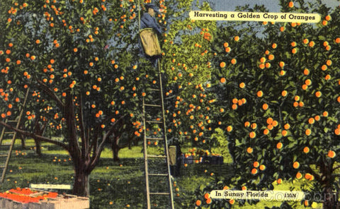 Vintage Florida Oranges Postcard images Compliments of CardCow.com