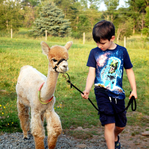 AUTUMN ALPACA WALKS Last Day Nov 30th!