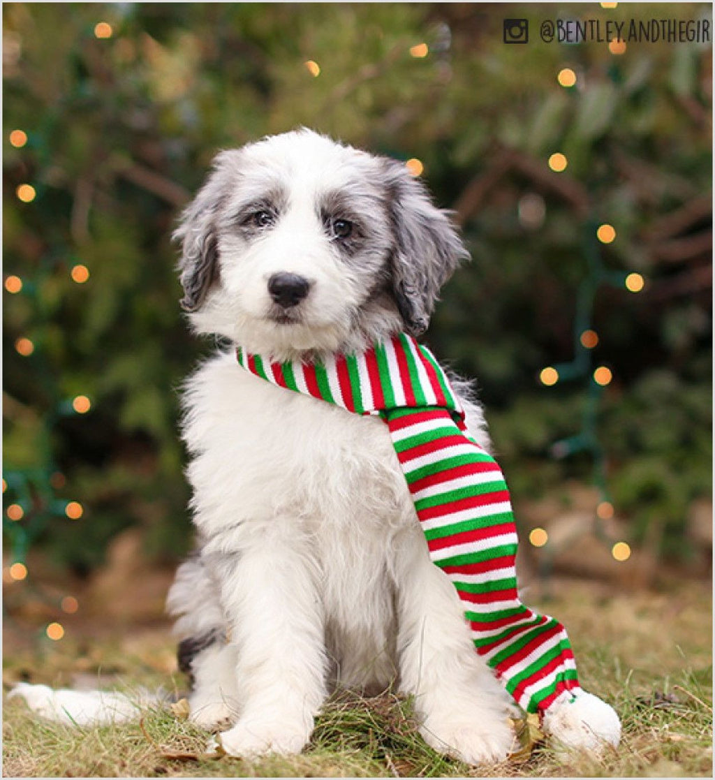 Holiday Stripe Dog Scarf Puppy's Home