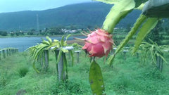 Dragon fruit - 2 kg pack