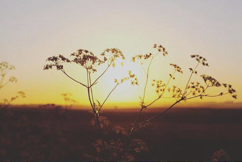 Summer sunset and cow parsley in Lincolnshire. Copyright James Mason photography 2016