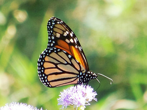 Our native plant landscape is a haven for butterflies
