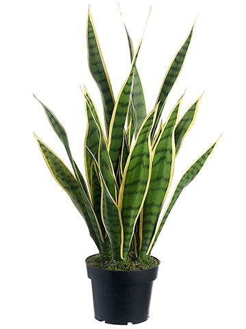 "24"" SANSEVIERIA IN POT GR/CR #LPS424-GR~CR"
