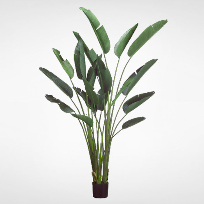 Bird of Paradise Plant in plastic pot #LTB608-GR