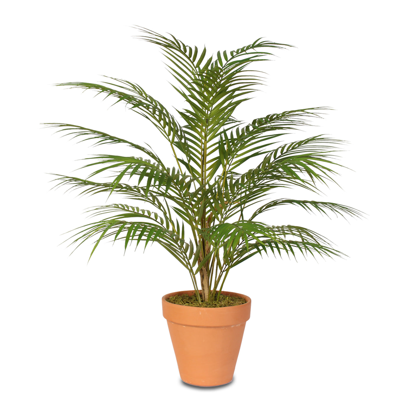Palm Plant For Home on herb plants for home, vine plants for home, potted plants for home, tropical plants for home, water plants for home, decorative plants for home, indoor plants for home,