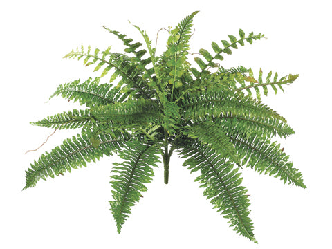 New Boston Fern Bush x24 #PBF209