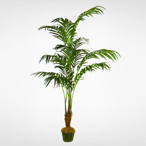 Kentia Palm Tree #PTK668