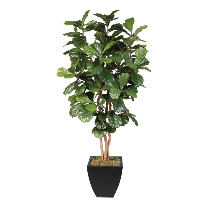 7 Feet Artificial Silk Fiddle Leaf Tree with Real Wood Trunks in Black Metal Planter #T-99B