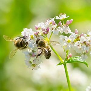 Bees on buckwheat flower