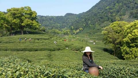 Dragon well tea field in West Lake Mei Jia Wu
