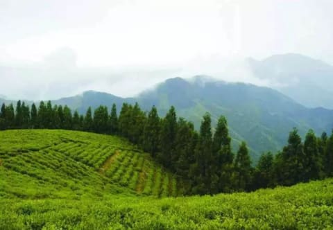 dragon well tea garden