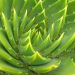 Benefits of Aloe Vera as Herbal Medicine