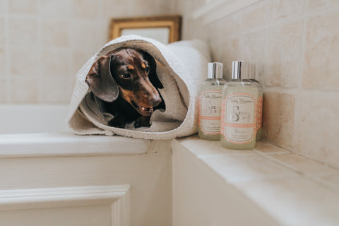 daisy the sausage loves Teddy Maximus shampoo!