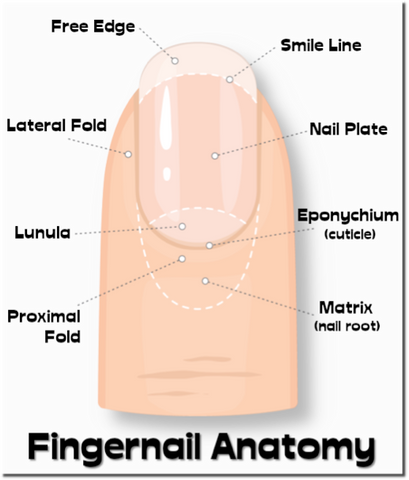 Fingernail Anatomy
