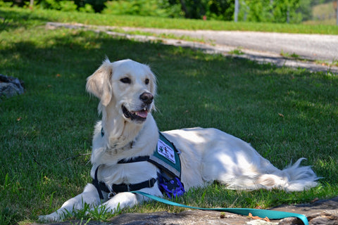 service dog lying in shade