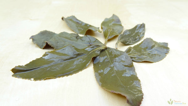 Brewed leaves of Pouchong tea