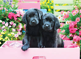 BLACK LABS IN PINK BOX (500 PC)