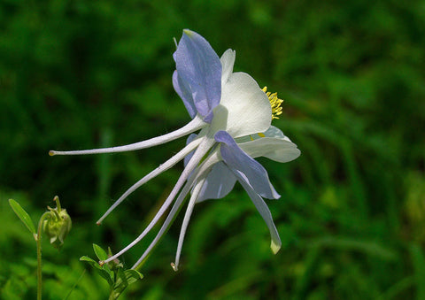 "Photo Card - ""Colorado Columbine"""