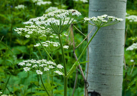 "Photo Card - ""Cow Parsnip"""