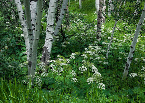 "Photo Card - ""Cow Parsnip & Aspen"""