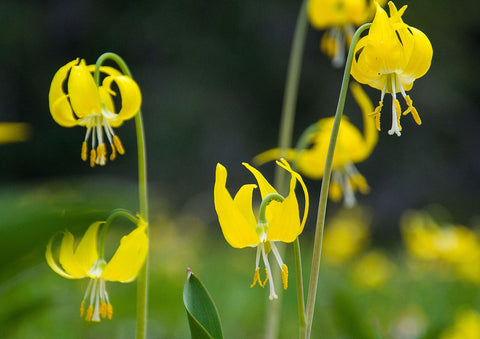 "Photo Card - ""Glacier Lilies"""