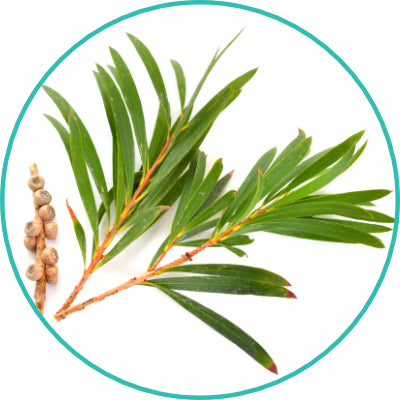 Melaleuca Alternifolia Tea Tree Leaf Oil