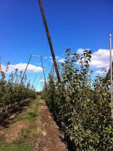 Apple Trellis
