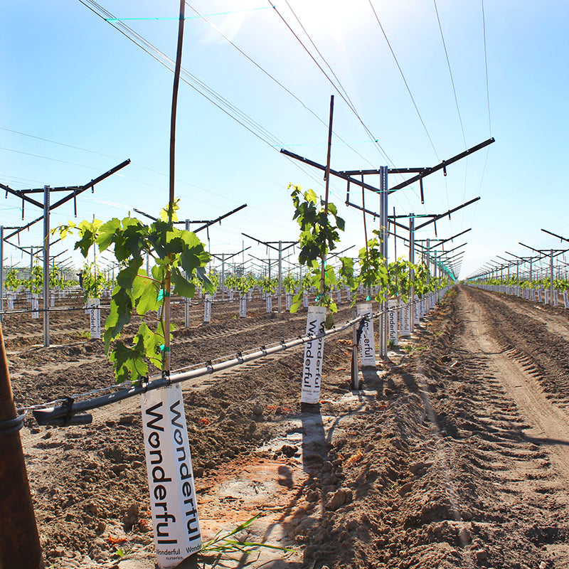 Support training stakes displayed in large vineyard