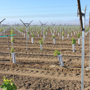 Bamboo training stakes shown in large vineyard