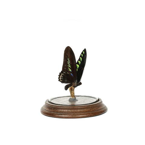 Vintage Taxidermy Butterfly