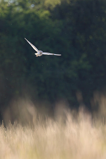 Barn Owl Photograph by Mat Bingham