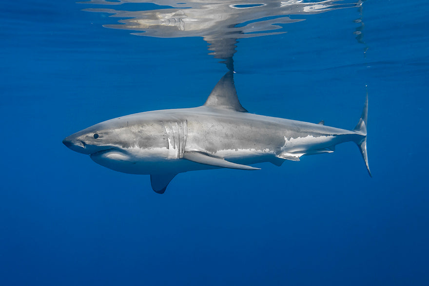 Great White Shark Reflection Photography by George T. Probst