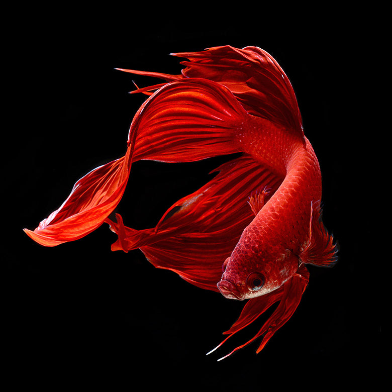 Crimson Prelude Siamese Fighting Fish