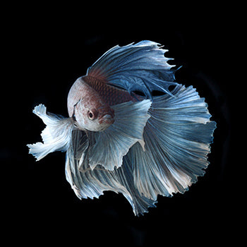 Interlude of the Blue Siamese Fighting Fish