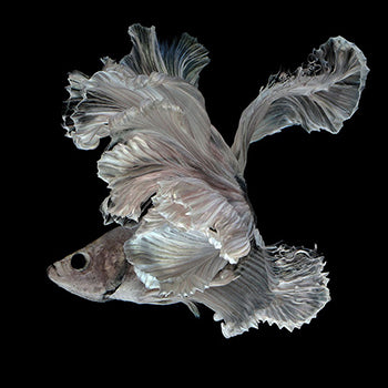Dancing in Winter Siamese Fighting Fish