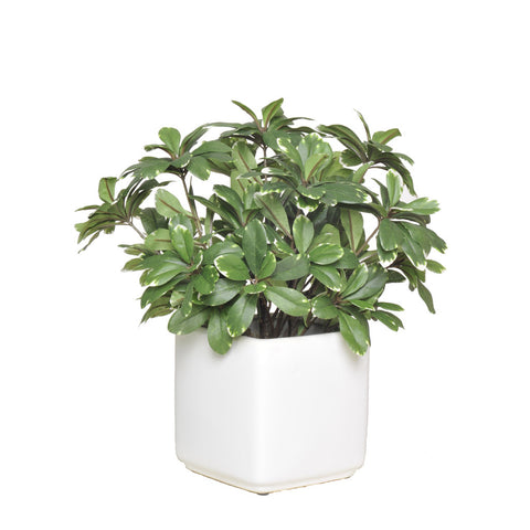 Artificial Pittosporem in Cube Ceramic - House of Silk Flowers®  - 2