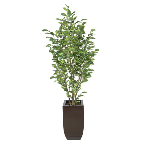 Artificial Variegated Ficus in Tapered Zinc