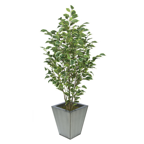Artificial Variegated Ficus in Square Metal